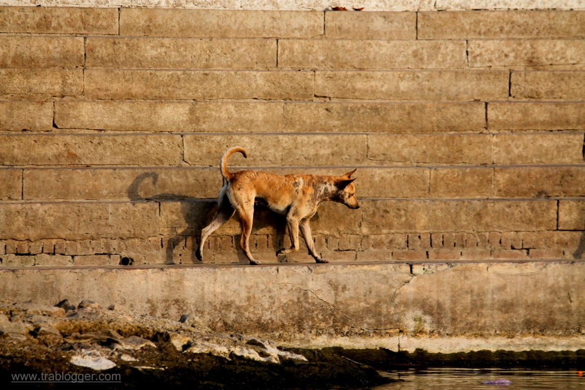 One of the many dogs from Varanasi