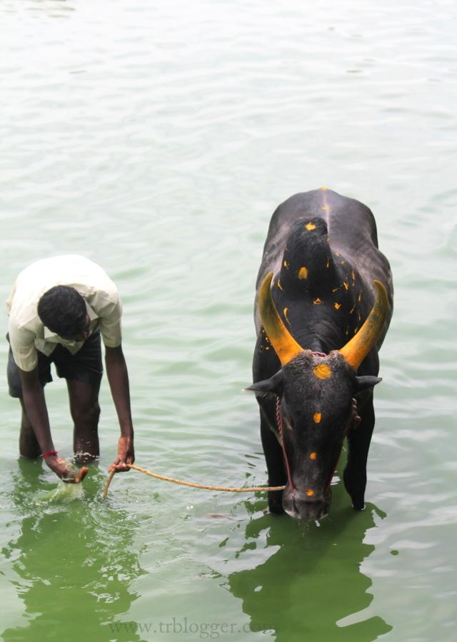 Guy with his Jallikkettu bull