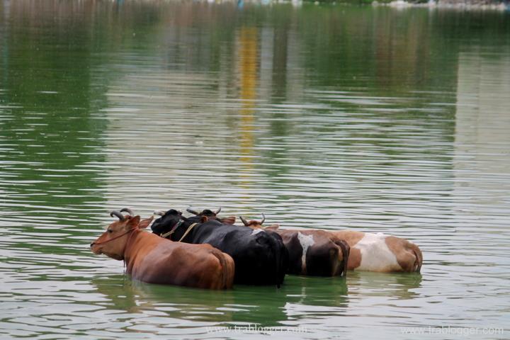 Jallikkettu bulls having a bath